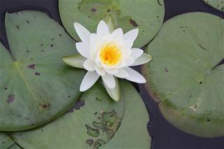 Pocahontas Park lily-1