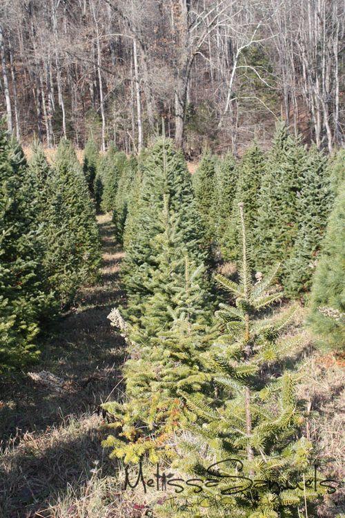 Christmas Tree 2012 (1 of 1)-7